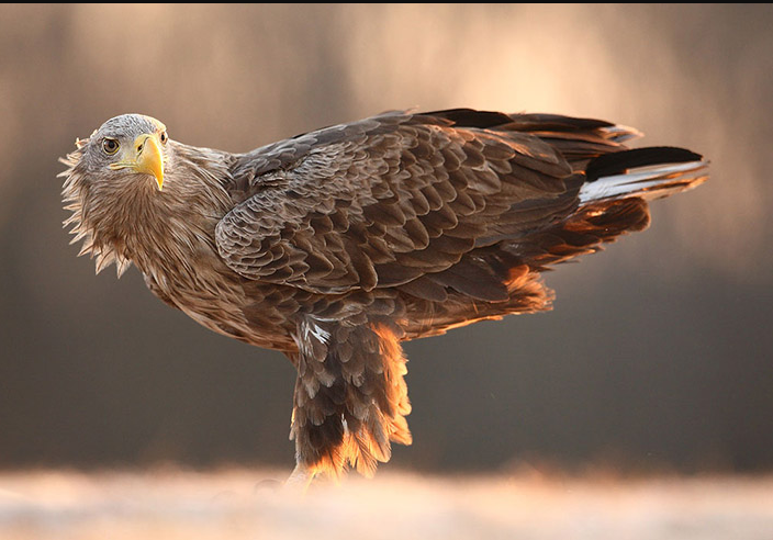 polish eagle bird