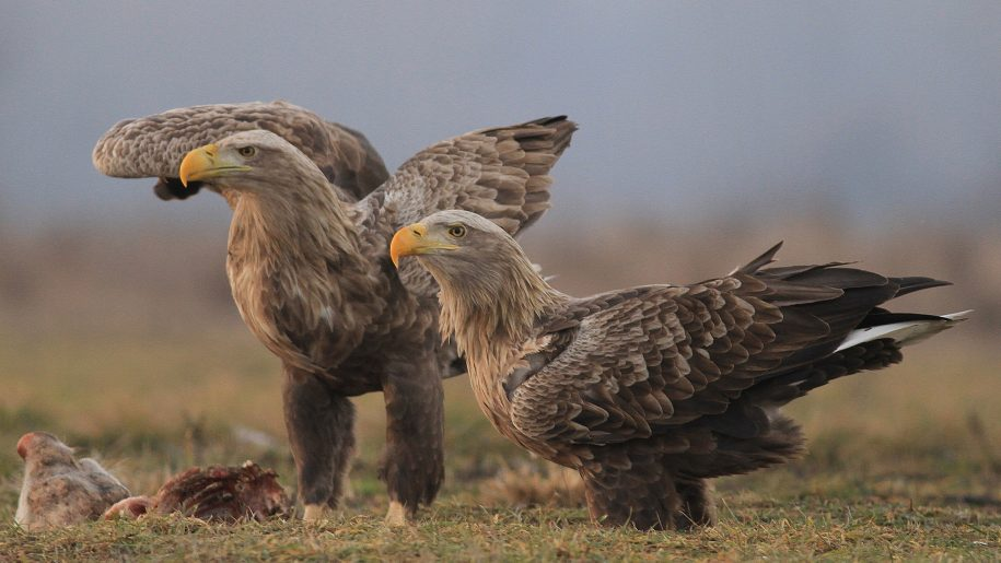 White tailed Polish Eagle